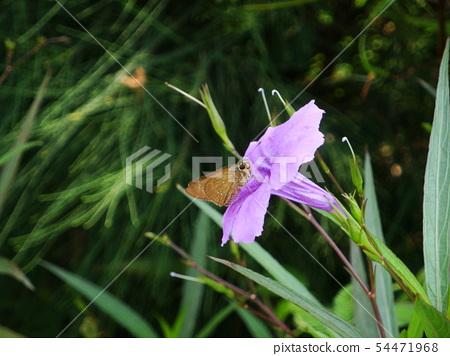 紫花蘆莉草與蝴蝶 54471968