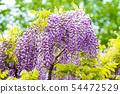 등나무 꽃 54472529