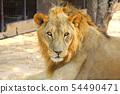 Male African Lion (Panthera leo) portrait 54490471
