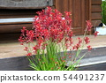 Potted plants of Kangaroopo (Anigoxanthos) 54491237
