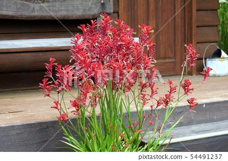 Potted plants of Kangaroopo (Anigoxanthos) 54491237