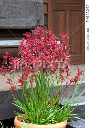 Potted plants of Kangaroopo (Anigoxanthos) 54491240