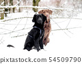 A labrador and a puppy are playing in the snow 54509790