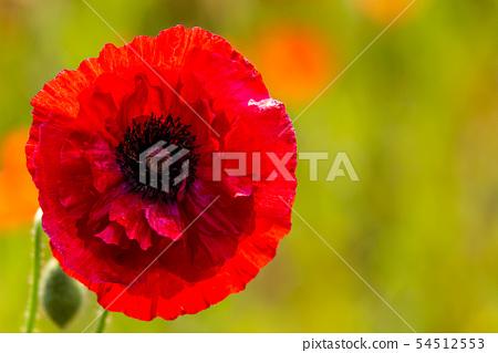 근접 촬영으로 담은 양귀비 꽃( 배경이미지 ) 54512553