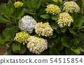 Hydrangea (hortensia) growing in the nature 54515854