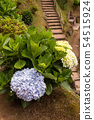 Hydrangea (hortensia) growing in the nature 54515924