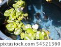 Medaka breeding image 54521360