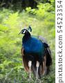 孔雀在籬笆上 54523354