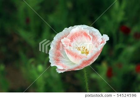 양귀비 Flower poppy 54524596