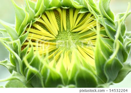 Sunflower bush 54532204
