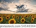 Sunflower field at sunset. 54540364