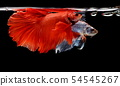 Siamese fighting fish, Betta splendens 54545267