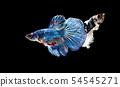 Siamese fighting fish, Betta splendens 54545271