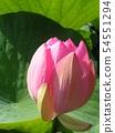 千葉公園的桃紅色五顏六色的芽 54551294
