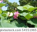 치바 공원 오오가하스의 분홍색의 꽃 54551965