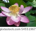 치바 공원 오오가하스의 분홍색의 꽃 54551967