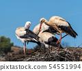 Group of White storks on nest 54551994
