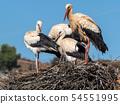 Four White Storks 54551995