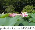 치바 공원 오오가하스의 분홍색의 꽃 54552415