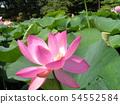 치바 공원 오오가하스의 분홍색의 꽃 54552584