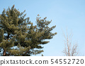 Plants part of pine branch and dry tree in Seoul 54552720