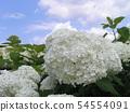 하이드 란 지아 애나벨라고 흰 꽃 수국 54554091