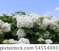 하이드 란 지아 애나벨라고 흰 꽃 수국 54554093