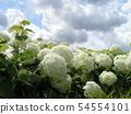 하이드 란 지아 애나벨라고 흰 꽃 수국 54554101