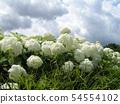 Hydrangea white flower hydrangea called Annabelle 54554102