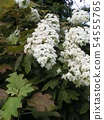 White flower of oak hydrangea whose leaves are similar to mulberry leaves 54555765