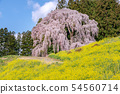 Weeping cherry blossoms of the battlefield Nihonmatsu City, Fukushima Prefecture 54560714