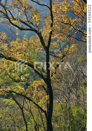秋天楓樹的顏色 54568522