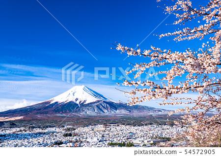 """可以俯瞰富士山的櫻花和雪景的""""山梨縣""""新村山仙根公園 54572905"""