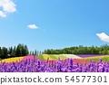 홋카이도 여름 푸른 하늘과 색채의 꽃밭 54577301
