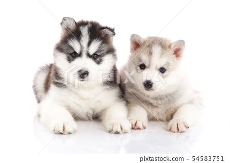 Two siberian husky puppies on white background 54583751