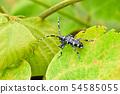 甲蟲夫人 54585055