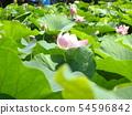 치바 공원 오오가하스의 분홍색의 꽃 54596842