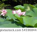 치바 공원 오오가하스의 분홍색의 꽃 54596844