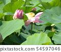 千葉公園的桃紅色五顏六色的芽 54597046