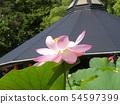 Pink flower of Ogajas at Chiba Park 54597399