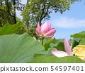 Pink flower of Oga lotus in Chiba Park 54597401