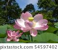 Pink flower of Ogajas at Chiba Park 54597402