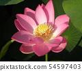 치바 공원 오오가하스의 분홍색의 꽃 54597403