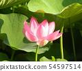 Pink flower of Ogajas at Chiba Park 54597514