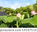 Pink flower of Oga lotus in Chiba Park 54597516