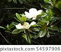 Big white white flowers are flowers of Taisanboku 54597906