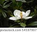 Big white white flowers are flowers of Taisanboku 54597907