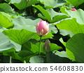 千葉公園的桃紅色五顏六色的芽 54608830