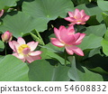 Ogajas桃红色花在千叶公园的 54608832