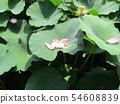 Ogajas的桃紅色瓣在千葉公園的 54608839